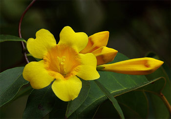 Carolina or Yellow Jessamine