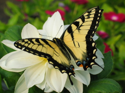 Eastern Tiger Swallowtail with Wings Spread
