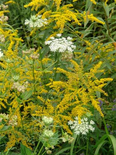 Tall Goldenrod - South Carolina State Wildflower