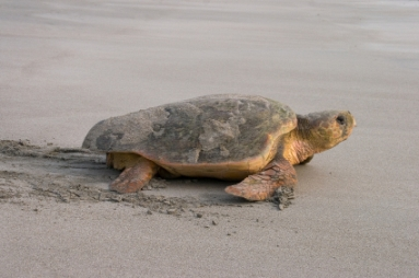>Loggerhead Turtle Comes Ashore to Lay Her Eggs