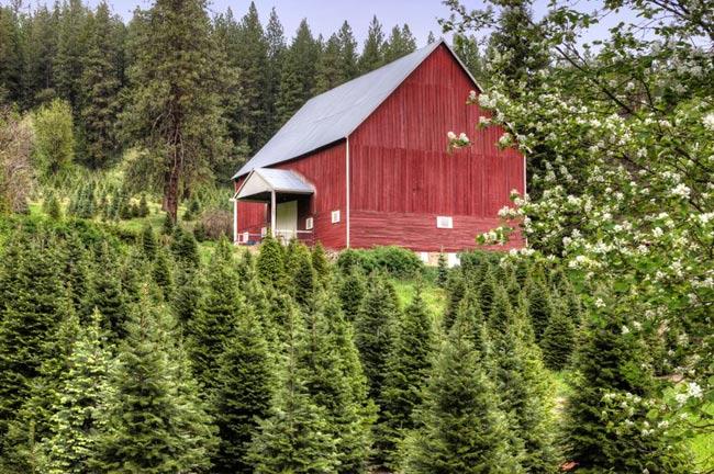 sc tree farms - 28 images - choose and cut tree farms near nc ...