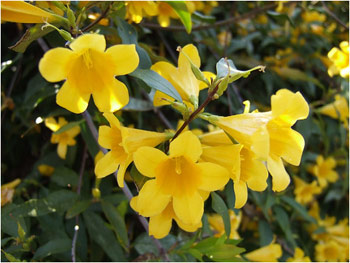 SC's State Flower Yellow Jessamine