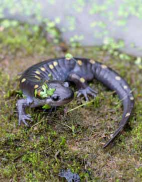 Spotted Salamander on Moss