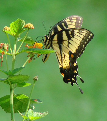 South Carolina - State Butterfly - Eastern Tiger Swallowtail