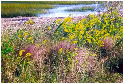 Sweetgrass and Goldenrod