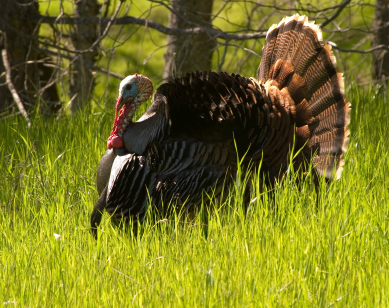 Wild Turkey in Full Strut