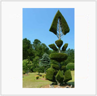 Pearl Fryar Fishbone Topiary